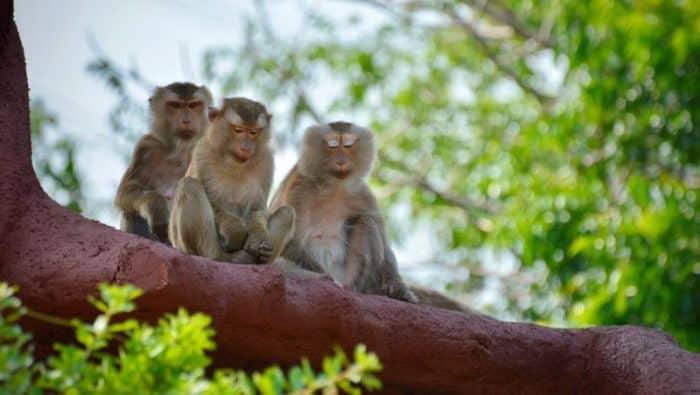 колония «Гора обезьян»