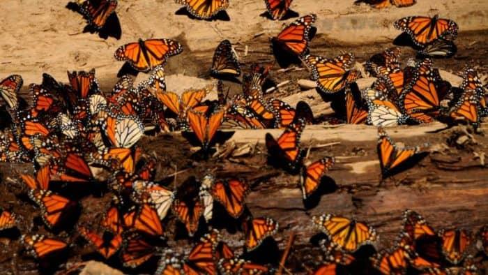 Миграция бабочки-монарха