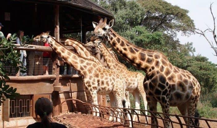 Центр жираф